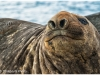 Male elephant seal, Roberts Pt, South Shetlands