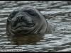 Elephant Seal, South Georgia