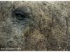 Eye of a male elephant seal - South Georgia