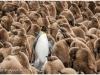 King penguins, Gold Harbour, South Georgia