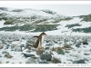 gentoo penguin, couverville island, antarctic