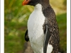 rockhopper penguin, west point, falkland islands,uk