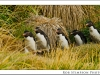 rockhopper penguins, west point, falkland islands, uk