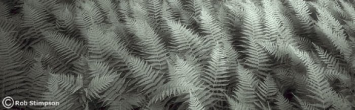 Ostrich ferns, black and white photography; botany