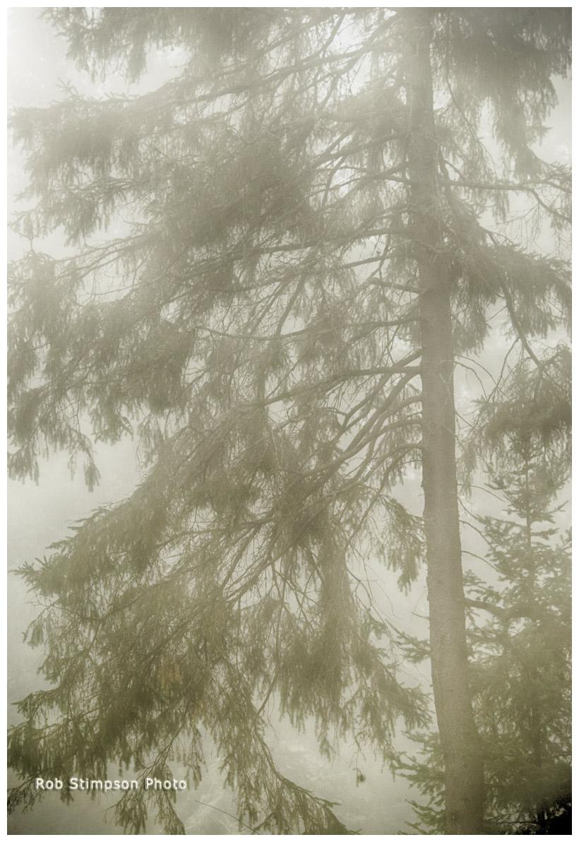 spruce along oxtongue river, Algonquin Prov. Park