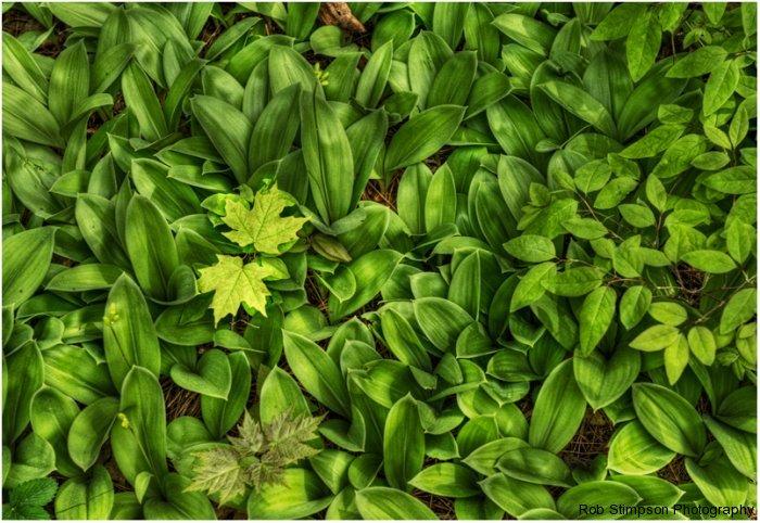forest floor, spring, ontario