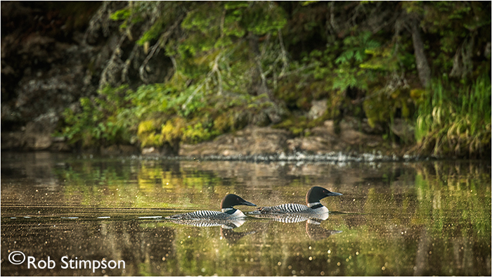 Ontario Parks_Algonquin Park _Loons