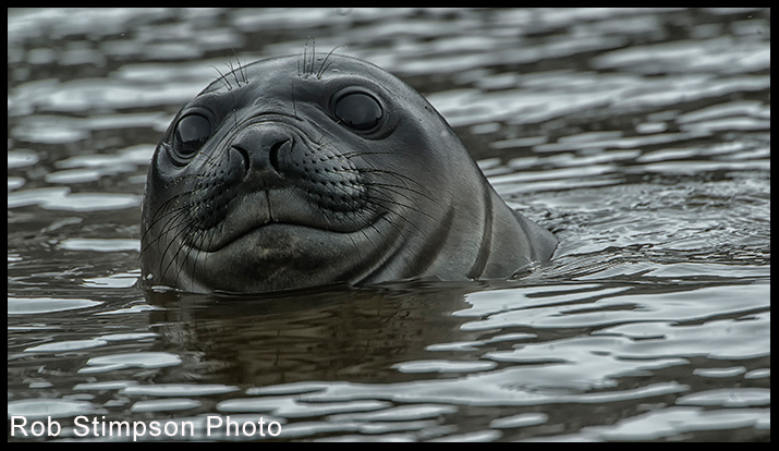 Elephant Seal, South Georgia, Sub Antarctic