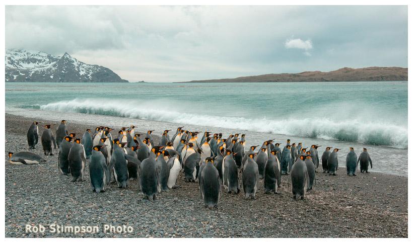 King penguins, Salisbury Plain, South Georgia, Sub Antarctic