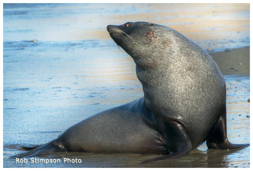 Fur seal, Fortuna Bay, South Georgia, Sub Antarctic