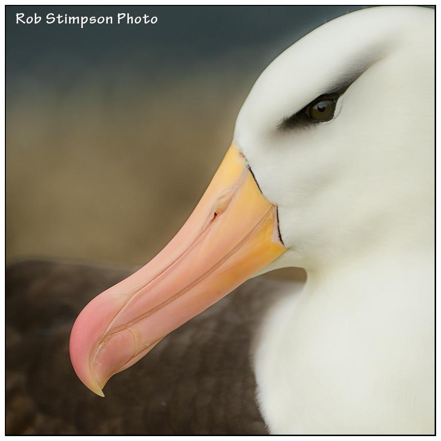 Black Browed albatross, West Point, Falkland Islands