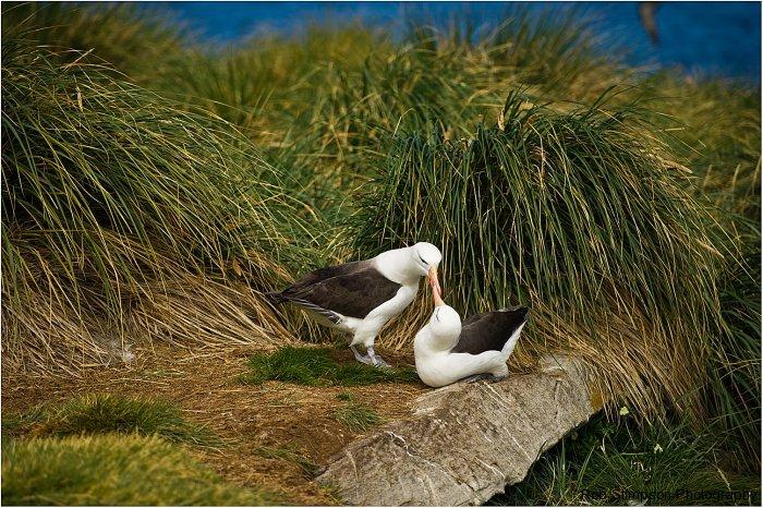 black browed albatross, west point island, falkland islands