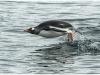 Gentoo Penguin porpoising, Antarctica