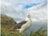 Black Browed albatross, West Point, Falkland Islands