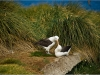 black browed albatross, west point island, falkland islands