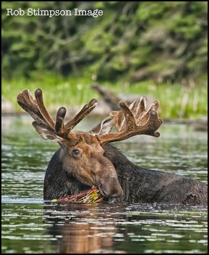 stimpson_moose9636