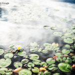 web-front-lob_waterlily_2008